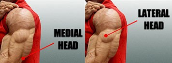 triceps lateral and medial head